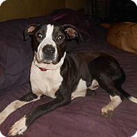 Adopt A Pet :: Oreo loves dogs & people - North Jackson, OH