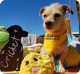 Terrier (Unknown Type, Medium)/Norwich Terrier Mix Dog for adoption in Apple Valley, California - Cricket