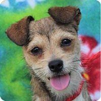 Adopt A Pet :: SCRUFFY - Red Bluff, CA