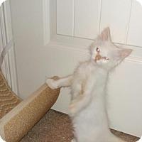 Adopt A Pet :: A387177     Wisteria - San Antonio, TX