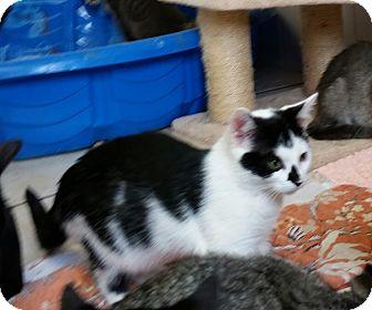 Domestic Shorthair Kitten for adoption in Chippewa Falls, Wisconsin - Raad
