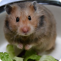 Hamster for adoption in Brooklyn, New York - Ms Webster