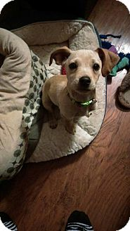 Chihuahua/Jack Russell Terrier Mix Puppy for adoption in Sacramento, California - Lil Bud