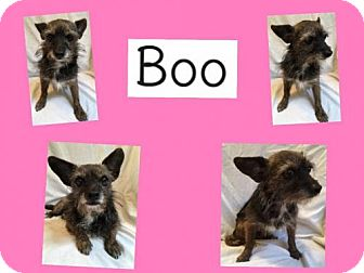 Standard Schnauzer Mix Dog for adoption in Plano, Texas - BOO
