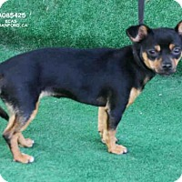 Chihuahua Mix Dog for adoption in Hanford, California - RONNIE