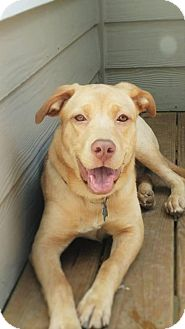 Labrador Retriever Mix Dog for adoption in Suwanee, Georgia - Petra