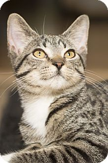 Domestic Shorthair Kitten for adoption in Lombard, Illinois - Moggy