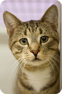 Domestic Shorthair Cat for adoption in Grayslake, Illinois - Le Tigre