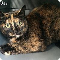 Domestic Shorthair Cat for adoption in Plainville, Connecticut - Joy