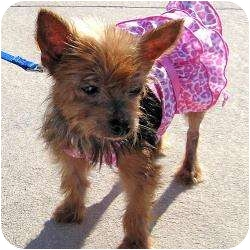 Yorkie, Yorkshire Terrier Dog for adoption in Hardy, Virginia - Tori