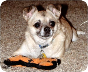 Chihuahua/Pug Mix Dog for adoption in Dallas, Texas - Barron