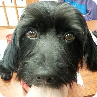 Havanese/Scottie, Scottish Terrier Mix Dog for adoption in Romeoville, Illinois - *ADOPTION PENDING* Winston