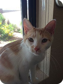 Domestic Shorthair Cat for adoption in Fountain Hills, Arizona - HARRY