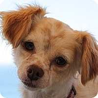 Adopt A Pet :: Bella - La Costa, CA