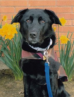 Labrador Retriever/Shepherd (Unknown Type) Mix Dog for adoption in Woodburn, Oregon - Callie