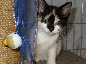 Calico Kitten for adoption in Winder, Georgia - Parti