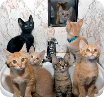 Domestic Shorthair Kitten for adoption in Chicago, Illinois - KITTENS!!