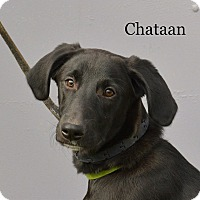 Adopt A Pet :: Chataan - Pleasant Plain, OH