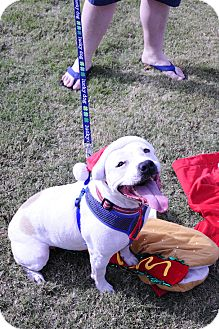 American Bulldog Mix Dog for adoption in Plainfield, Connecticut - Courtney
