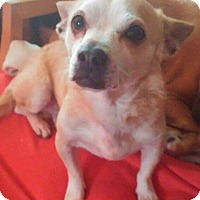 Adopt A Pet :: Chet - Andalusia, PA