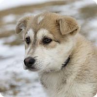 Adopt A Pet :: LAUREL - Ile-Perrot, QC