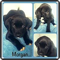 Adopt A Pet :: morgan pending adoption - Manchester, CT
