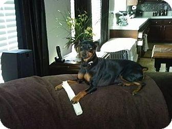 Miniature Pinscher Dog for adoption in Nuevo, California - Lil bit