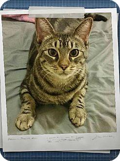Bengal Cat for adoption in Surprise, Arizona - Diamond