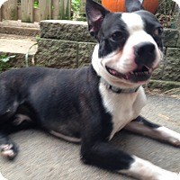 Boston Terrier Dog for adoption in Cumberland, Maryland - Pirate