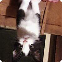 Adopt A Pet :: Moji - Avon, NY
