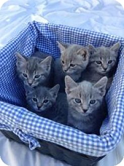 Domestic Shorthair Kitten for adoption in Mission Viejo, California - Grey Tabby Kitties