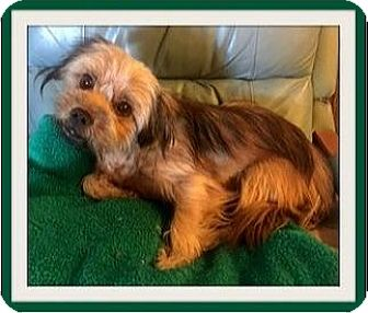Shih Tzu/Border Terrier Mix Dog for adoption in West Los Angeles, California - Jake