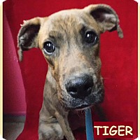 Adopt A Pet :: Tiger - Batesville, AR