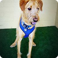 Adopt A Pet :: Sarge - Casa Grande, AZ