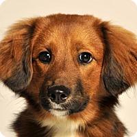 Adopt A Pet :: Scarlett - Bedminster, NJ