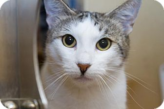 Domestic Shorthair Cat for adoption in Irvine, California - Janey