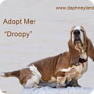 Adopt A Pet :: Droopy