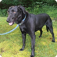 Labrador Retriever Mix Dog for adoption in Portland, Maine - ROCKET J SQUIRREL