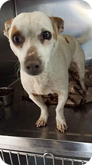Jack Russell Terrier Dog for adoption in Westminster, California - Napoleon