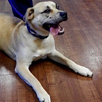 Golden Retriever/Labrador Retriever Mix Puppy for adoption in Amarillo, Texas - Hank