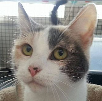 Domestic Shorthair Cat for adoption in Speedway, Indiana - Veronica