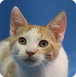 Domestic Shorthair Kitten for adoption in Overland Park, Kansas - Calvin