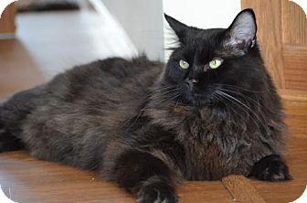 Domestic Longhair Cat for adoption in Fargo, North Dakota - Lincoln 2