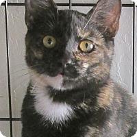 Domestic Shorthair Cat for adoption in Buhl, Idaho - Akita