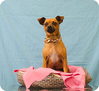 Chihuahua Mix Dog for adoption in Poteau, Oklahoma - FRECKLES