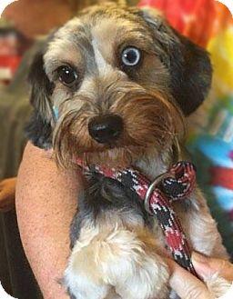 Standard Schnauzer/Dachshund Mix Dog for adoption in Matawan, New Jersey - Belle