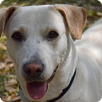 Labrador Retriever Mix Dog for adoption in thibodaux, Louisiana - Cece