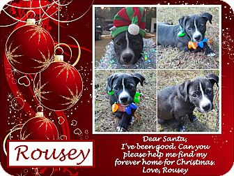 Pit Bull Terrier/Labrador Retriever Mix Puppy for adoption in Ringwood, New Jersey - Rousey