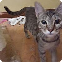 Domestic Shorthair Kitten for adoption in Virginia Beach, Virginia - Daphne