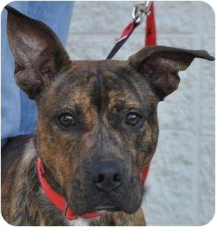 Boxer/Labrador Retriever Mix Dog for adoption in Atlanta ... Selkirk Rex Atlanta